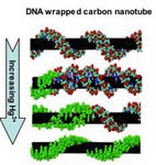 Drawing of DNA wrapped round carbon nanotubes and showing response to increase in mercury ion concentration